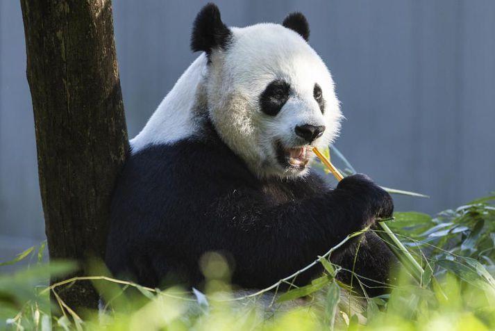 Risapöndur lifa nær eingöngu á bambus.