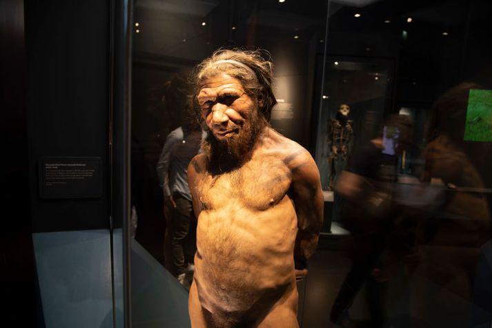 Neanderdalsmaðurinn er hér til sýnis á Náttúruminjasafninu í London. Arfur frá honum er talinn geta aukið líkurnar á því að fólk veikist alvarlega af Covid-19.