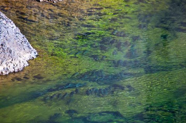 Laxinn leggst niður í djúpa hylji þegar árnar verða vatnslitlar.
