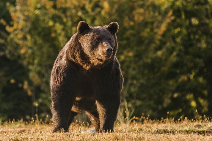 Björninn Artúr var sautján ára og hefur verið talinn stærsti björn Rúmeníu. Myndin er frá 2019.