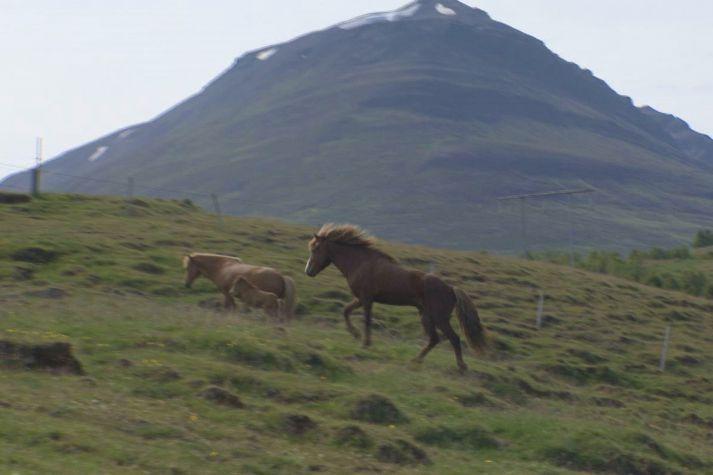 Stóðhesturinn Leynir kannar hryssurnar á Garðshorni á Þelamörk í Hörgárdal.