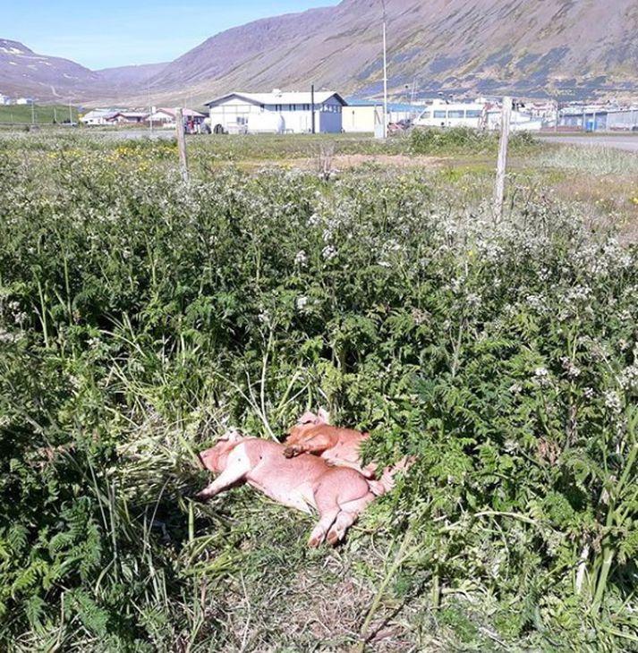 Grísirnir tveir þreyttir eftir ferðalagið til Bolungarvíkur.