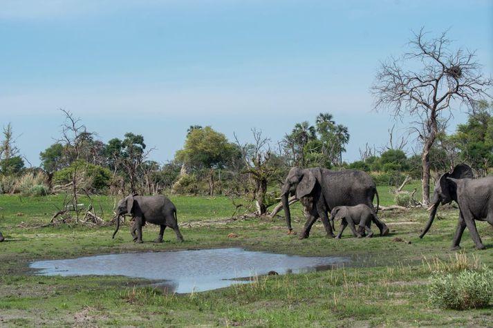 Hin dularfullu dauðsföll hafa átt sér stað frá í byrjun maí, en þá fannst hópur dauðra fíla við ósa Okavango-fljótsins. Mynd er úr safni.