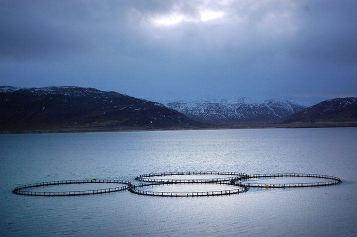 Fiskeldisfyrirtæki hafa fengið leyfi fyrir stórauknu fiskeldi í Patreksfirði.