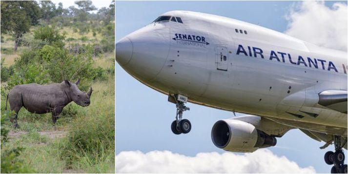 Air Atlanta Icelandic flaug með nashyrninganna til Rúanda þar sem þeir munu dvelja í þjóðgarði.