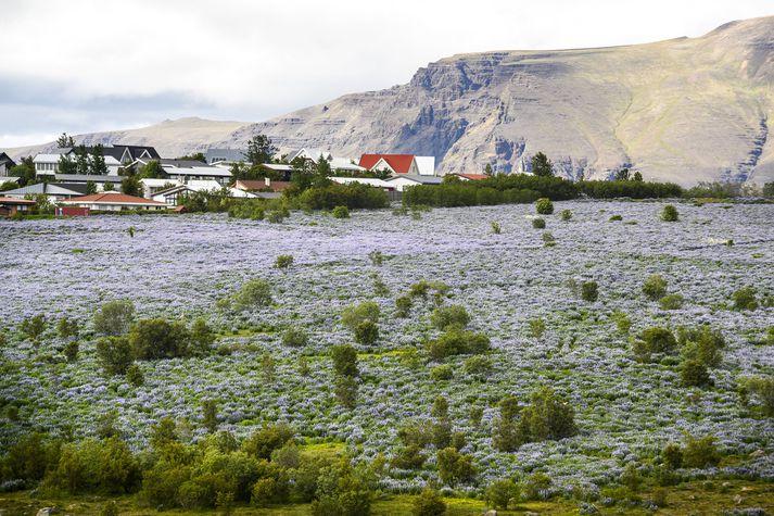 Lúpínubreiður setja mjög mikinn svip á Keldnaholt við Grafarvogshverfið í Reykjavík.