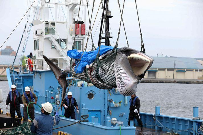 Japanskir hvalveiðimenn landa hrefnu í Kushiro í dag.