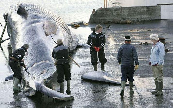 Hvalveiðar Íslendinga eru umdeildar í meira lagi.