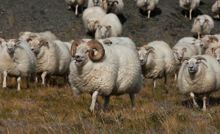 Garnaveiki er ólæknandi smitsjúkdómur í jórturdýrum en með bólusetningu er hægt að verja sauðfé og geitur fyrir sjúkdómnum og halda smitálagi í lágmarki.