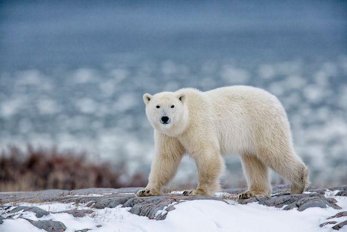 Þetta er ekki björninn sem um ræðir, heldur útlenskur myndabankabjörn.