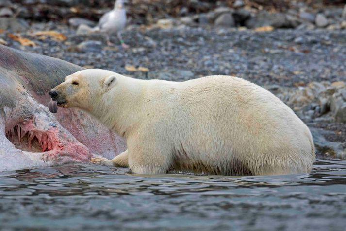 Ísbjörn gæðir sér á hvalshræi á Svalbarða.