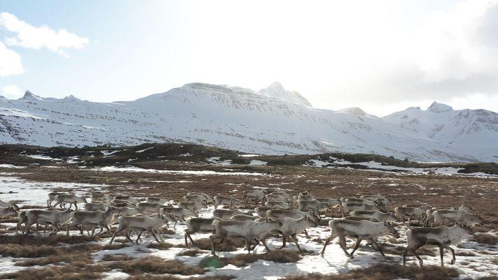 Garpur Elísabetarson ferðast einn um Ísland á tímum kórónuveiru. Um helgina hitti hann þessa fallegu hreindýrahjörð.