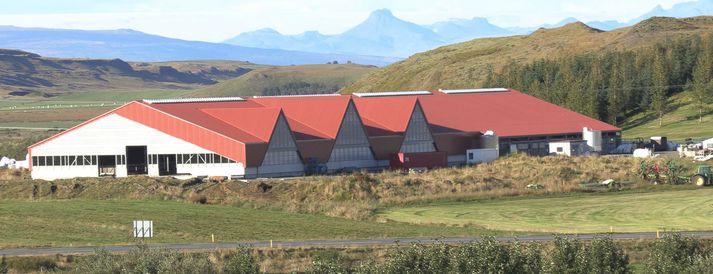 Nýja fjósið í Gunnbjarnarholti er um 4.000 fermetrar á stærð og er allt hið glæsilegasta.