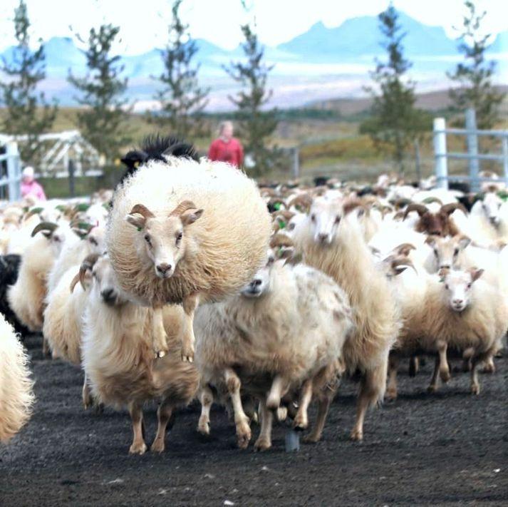 """Sauðfé hefur ekki fækkað í Biskupstungum í Bláskógabyggð en í Tungnaréttum voru um fimm þúsund fjár. Hér er """"fljúgandi"""" lamb að koma inn í almenninginn."""