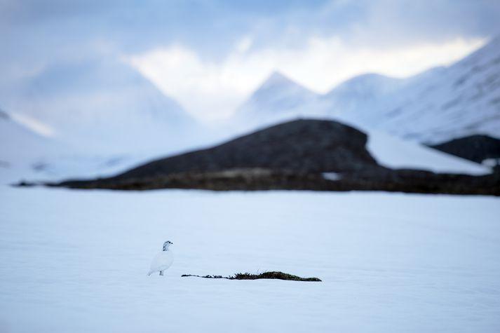 Báðir tindar Kebnekaise eru nú um 2.097 metra háir.