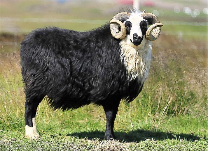 Nikulás þykir einkar virðulegur. Hann er vakandi fyrir flestu sem fram fer í kringum hann.