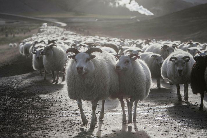 Allt fé á bænum Syðra-Skörðugili verður skorið niður vegna riðu.