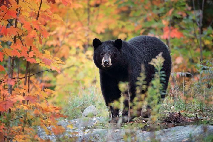 Þessi tiltekni svartbjörn heldur til í Kanada. Árásir þeirra á menn eru mjög sjaldgæfar.