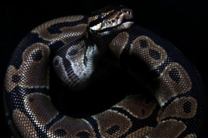 Kyrkislangan sem um ræðir er af tegundinni Python regius.